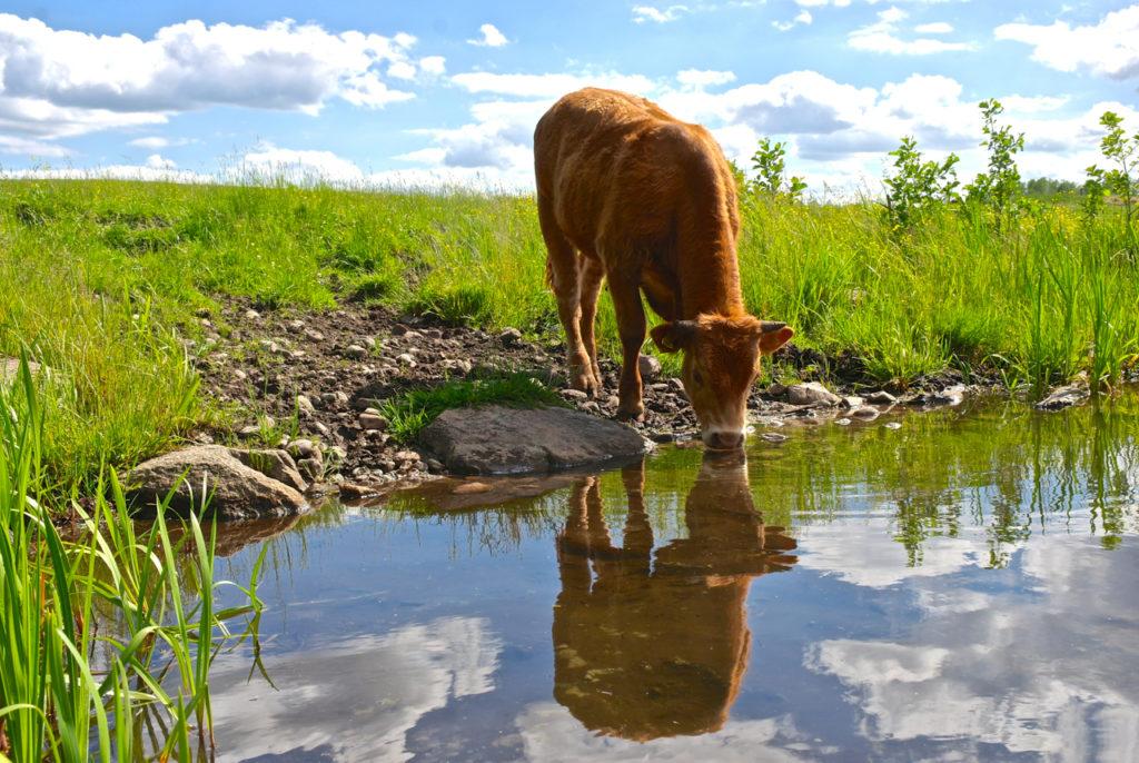 Kuh an der Krutynia