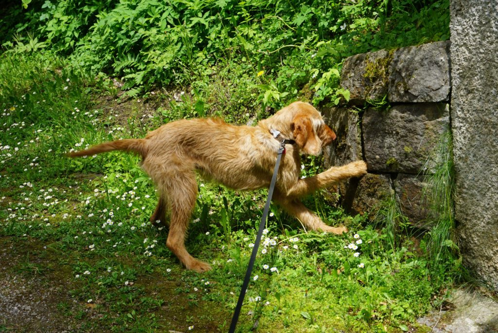 Hund sucht Salamander in der Barbarossaschlucht