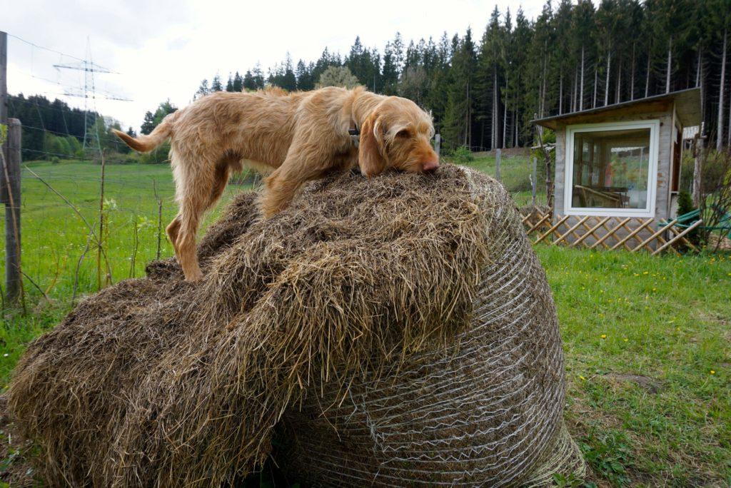 Hund im Heu, tierisch-in-fahrt.de