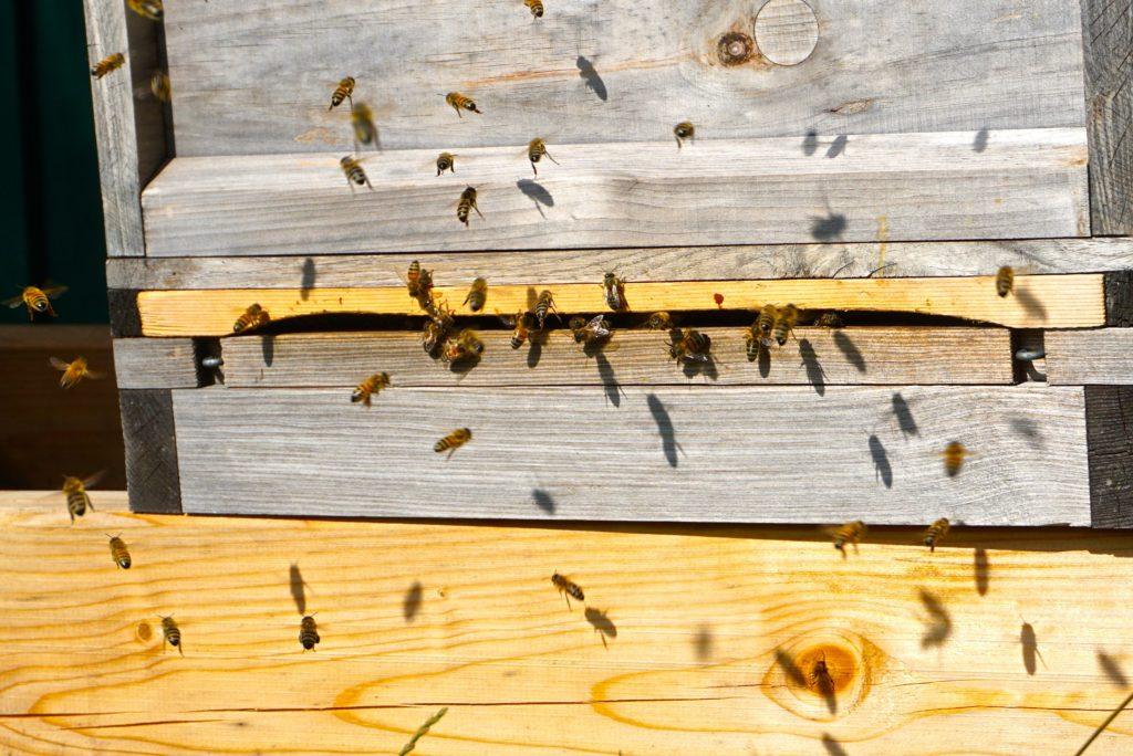 Honigbienen in der Arche Warder, tierisch-in-fahrt.de