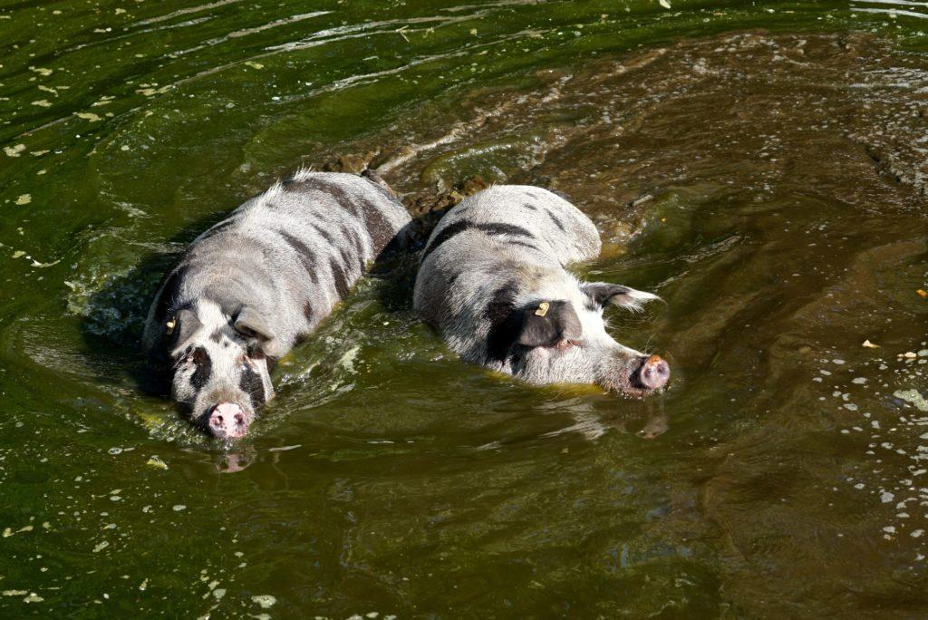Turopolje Schweine sind hervorragende Schwimmer, tierisch-in-fahrt.de
