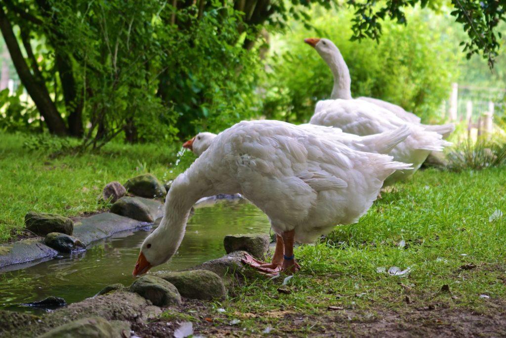 Emdener Gans im Tierpark Arche Warder, tierisch-in-fahrt.de