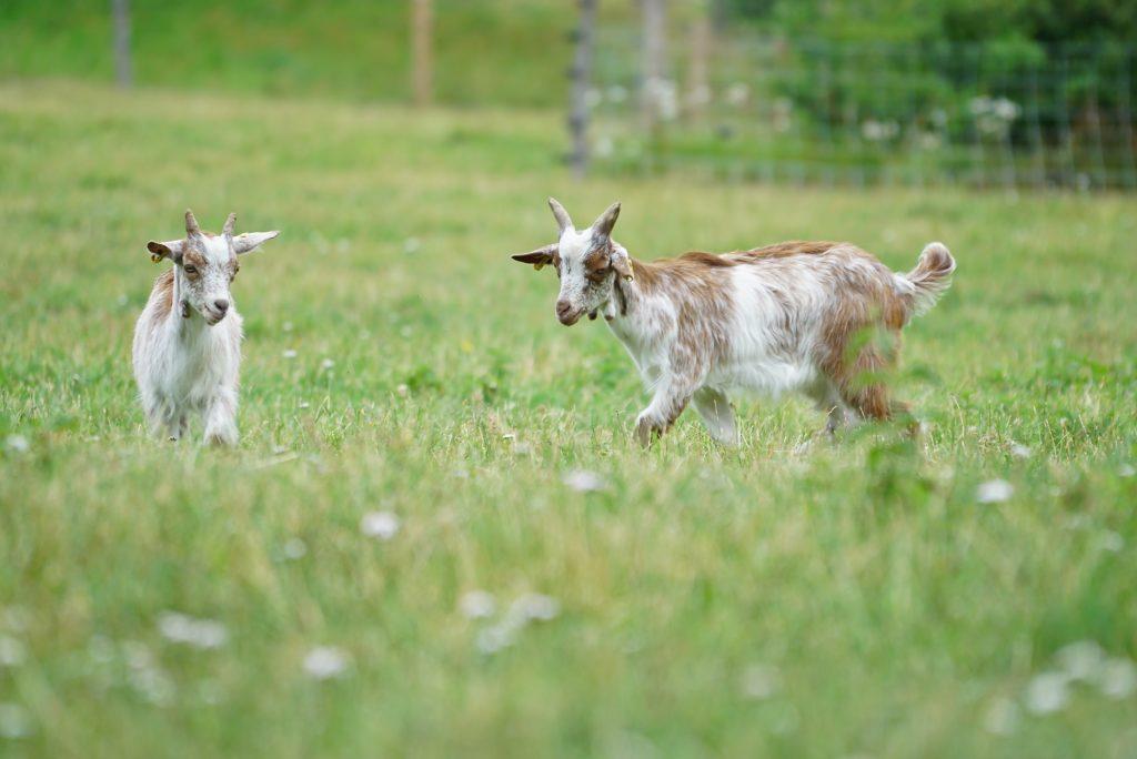 Ziegen im Haustierpark Arche Warder, tierisch-in-fahrt.de