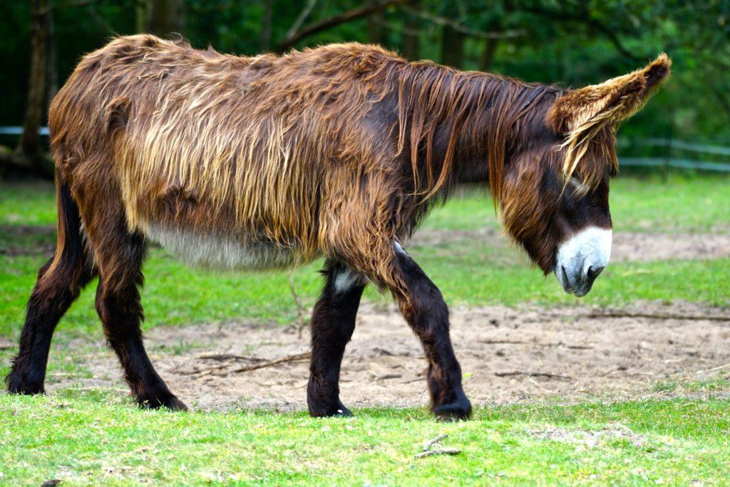 Poitou-Esel im Haustierpark Arche Warder