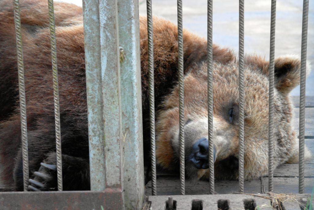 Bär im Zoo hinter Gittern_tierisch-in-fahrt.de