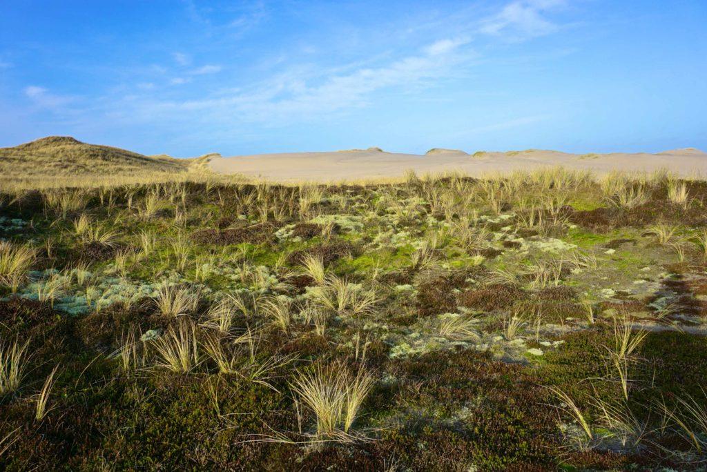 Bunte Dünenflora - Naturerlebnis Dänemark_tierisch-in-fahrt.de