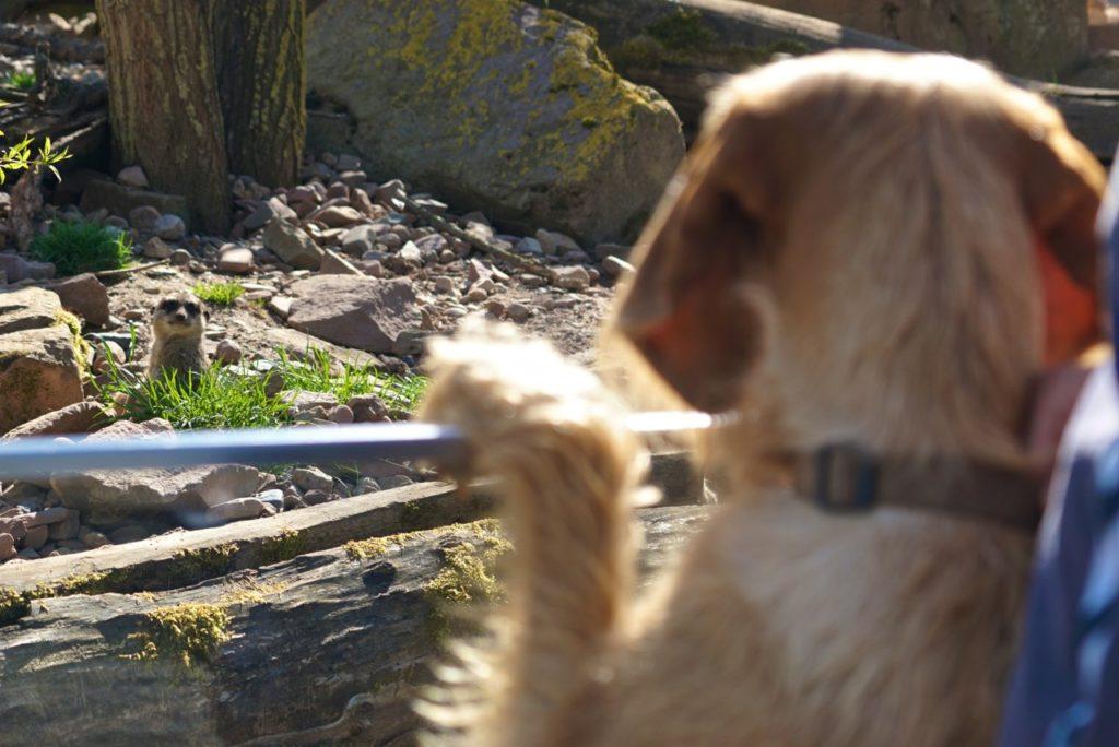 Hund und Erdmännchen im Tierpark Sababurg