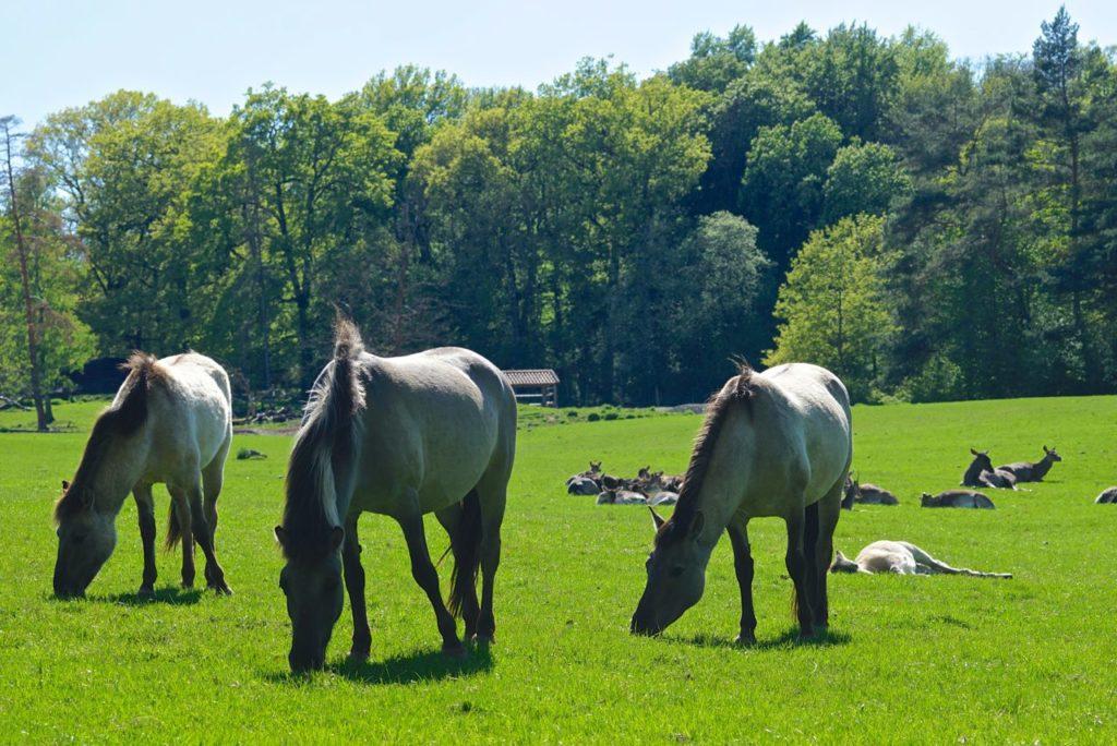 Heckpferde im Tierpark Sababurg