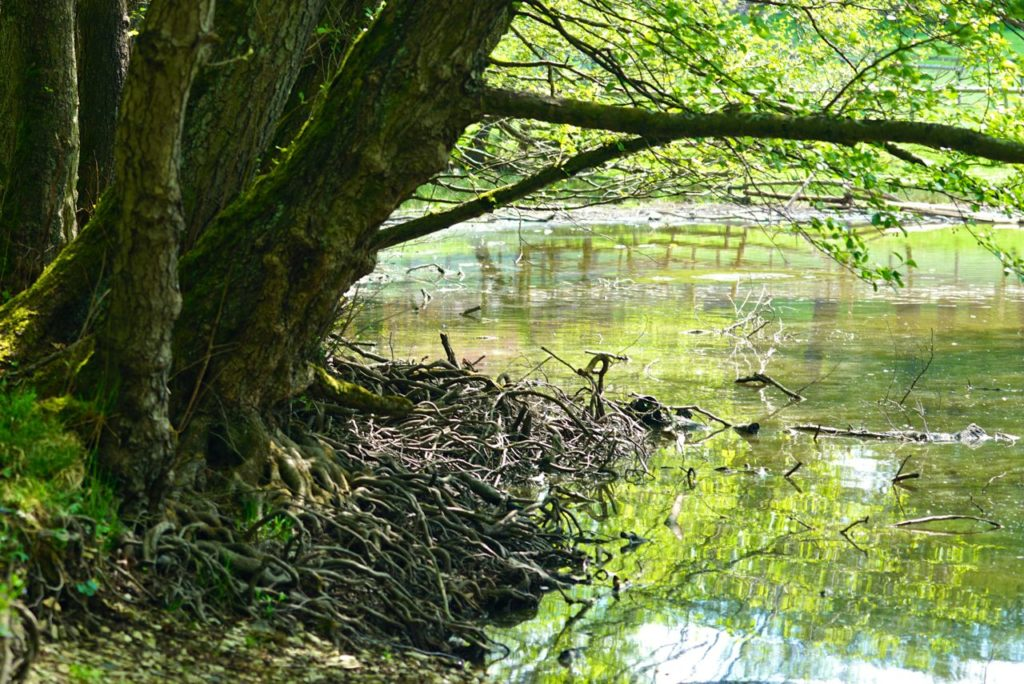 Baumwurzeln am Wasser