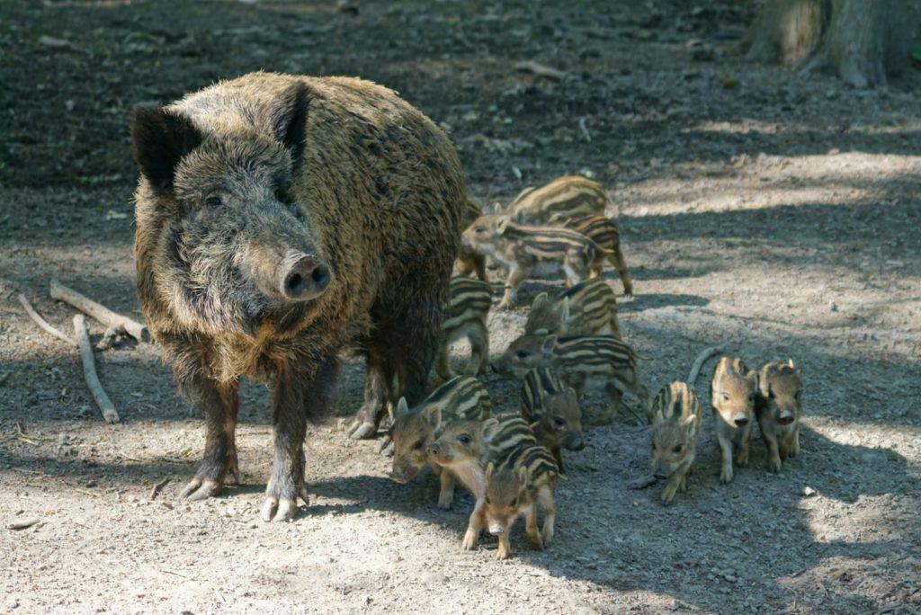 Wildschweinrotte im Tierpark