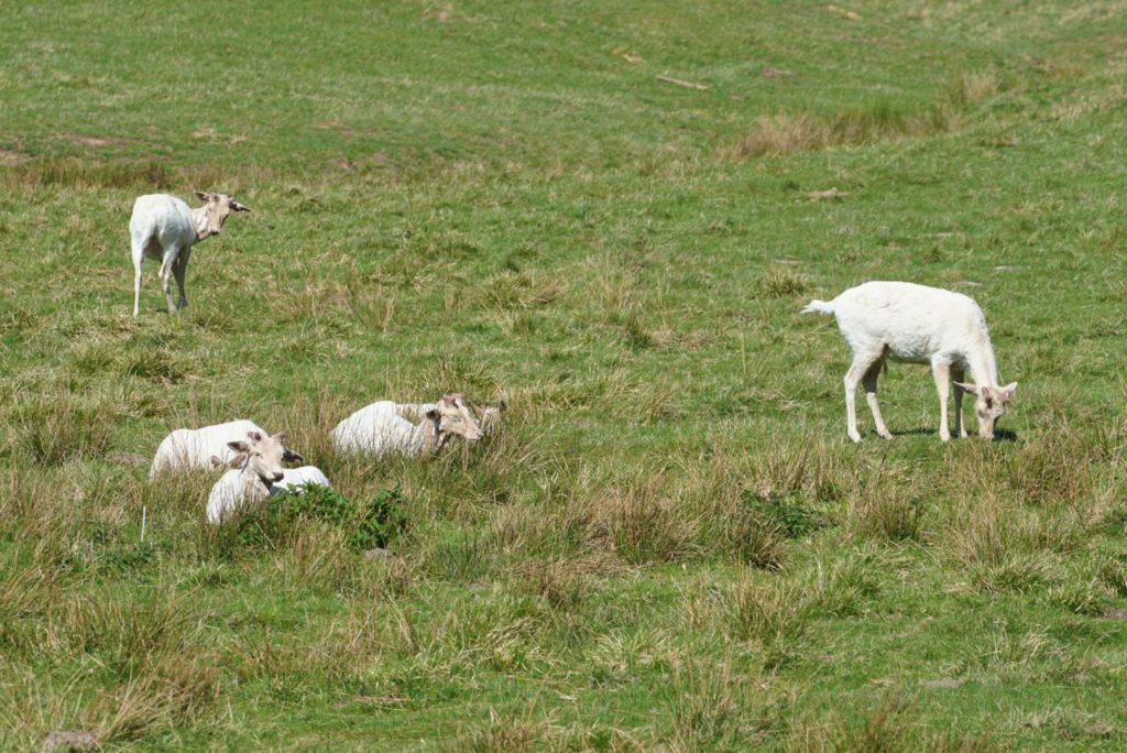 weiße Damhirsche im Wildpark
