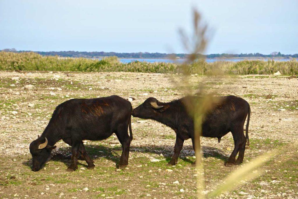 Wasserbüffel an Italiens Stiefelsporn_tierisch-in-fahrt.de