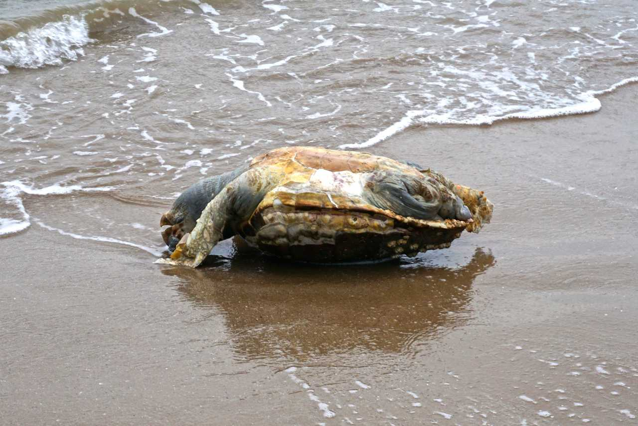 Tote, angeschwemmte Meeresschildkröte_tierisch-in-fahrt.de