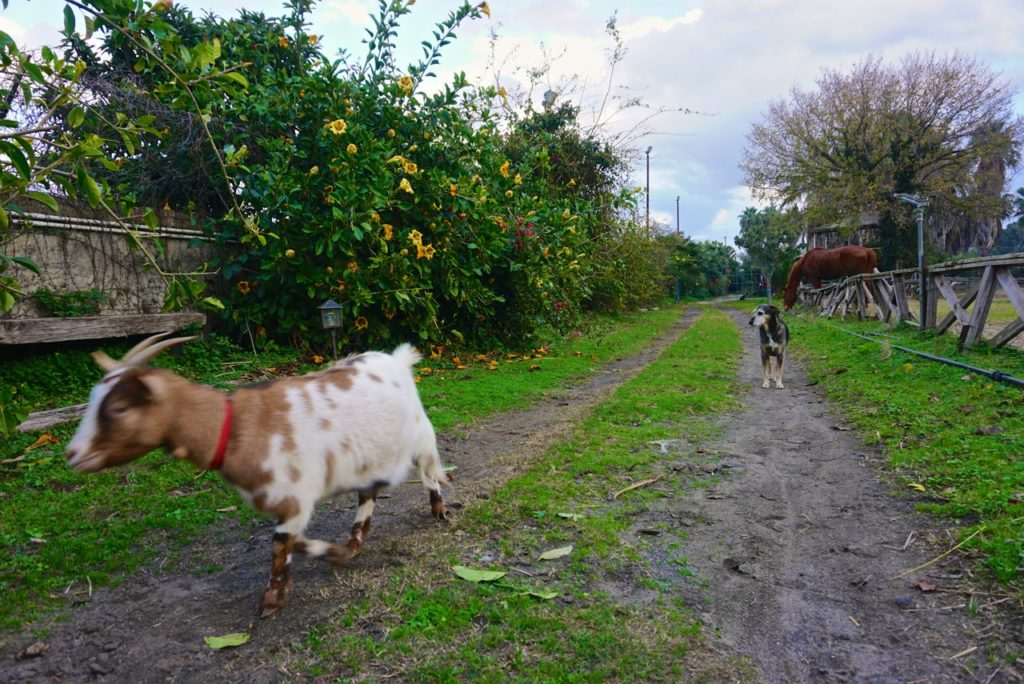 Ziege im Tierheim auf Sizilien_tierisch-in-fahrt.de