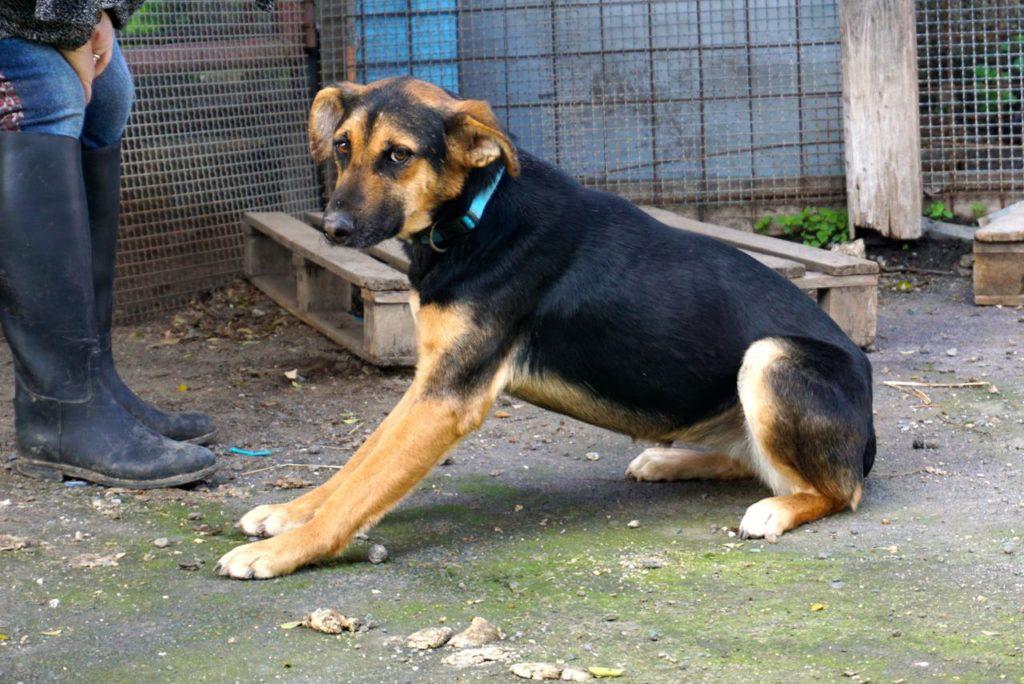 Schäferhundmi im Tierheim auf Sizilien