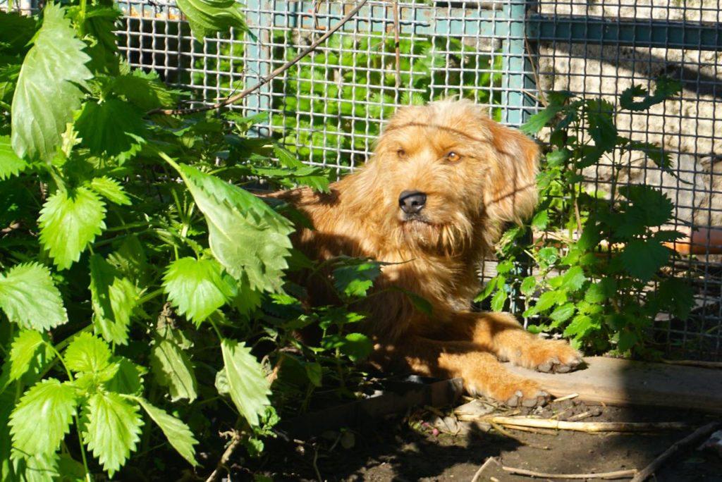italienischer Jagdhund im Tierheim auf Sizilien_tierisch-in-fahrt.de