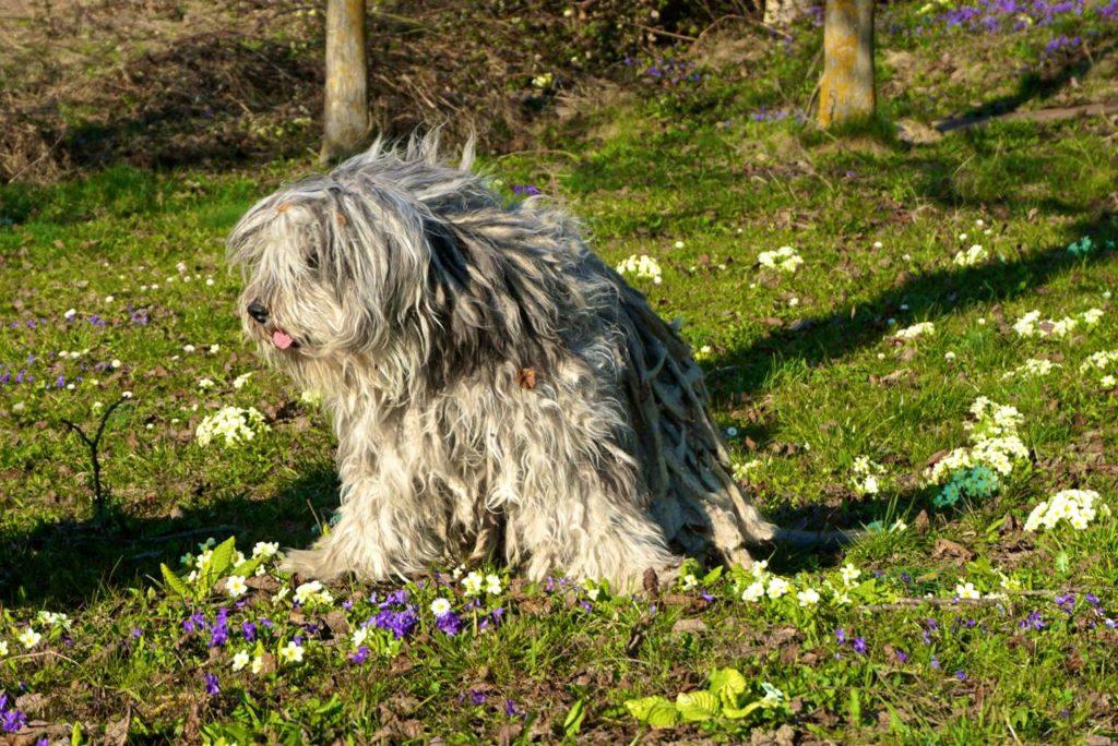 Hütehund auf Blumenwiese_tierisch-in-fahrt.de